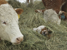 Hereford calf burrowed into the hay